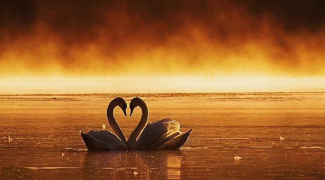 love-swans-wallpaper-best